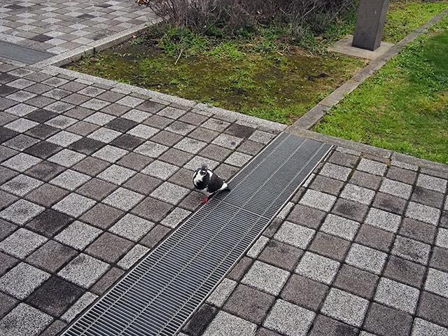 随分と人慣れしている鳩だな…